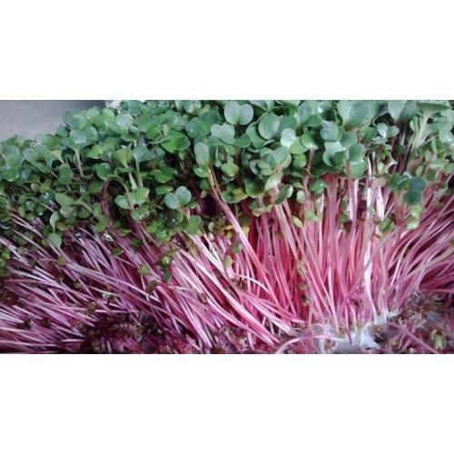 Rau mầm cải đỏ