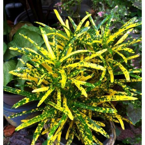 Cây Croton Xoắn
